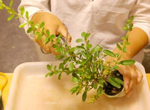 盆栽の作り方 剪定