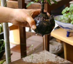 盆栽の作り方 水をたっぷり底から