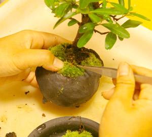 盆栽の作り方 苔をきれいに