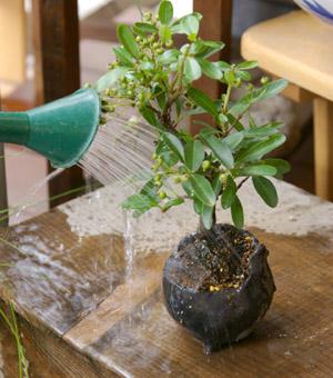 盆栽の作り方 水やり