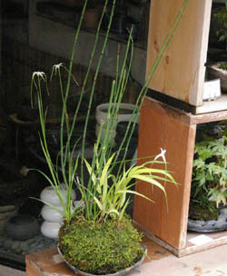 季節の苔玉