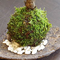 苔玉 敷石
