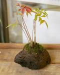 ハゼノ盆栽