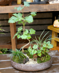 イチョウの寄せ植え盆栽