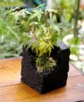 紅葉・峠シバの盆栽