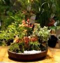 スイの木寄せ植え盆栽